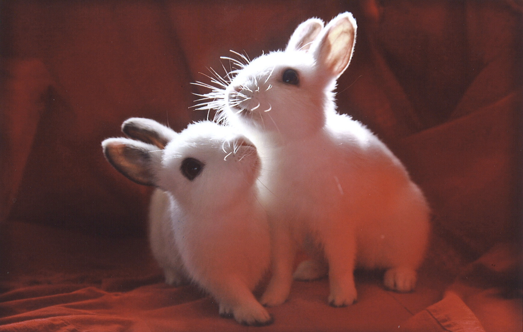 Photograph of light shining on two white rabbits surrounded by red fabric.